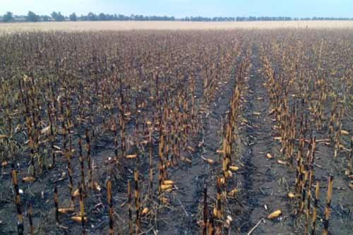 На Пирятинщині згоріло поле кукурудзи