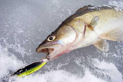 Где искать и на что ловить судака в феврале