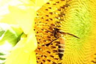 На Полтавщині від соняшників гинуть бджоли