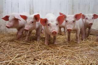 Тарас Кутовий: «Аграрний комітет відстежує ситуацію зі спалахом африканської чуми свиней в Україні»